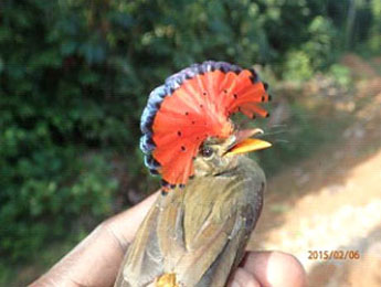 Royal flycatcher (Onychorynchus coronatus)